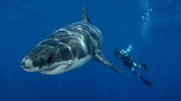 Фото бесплатно большая, белая акула, дайвер