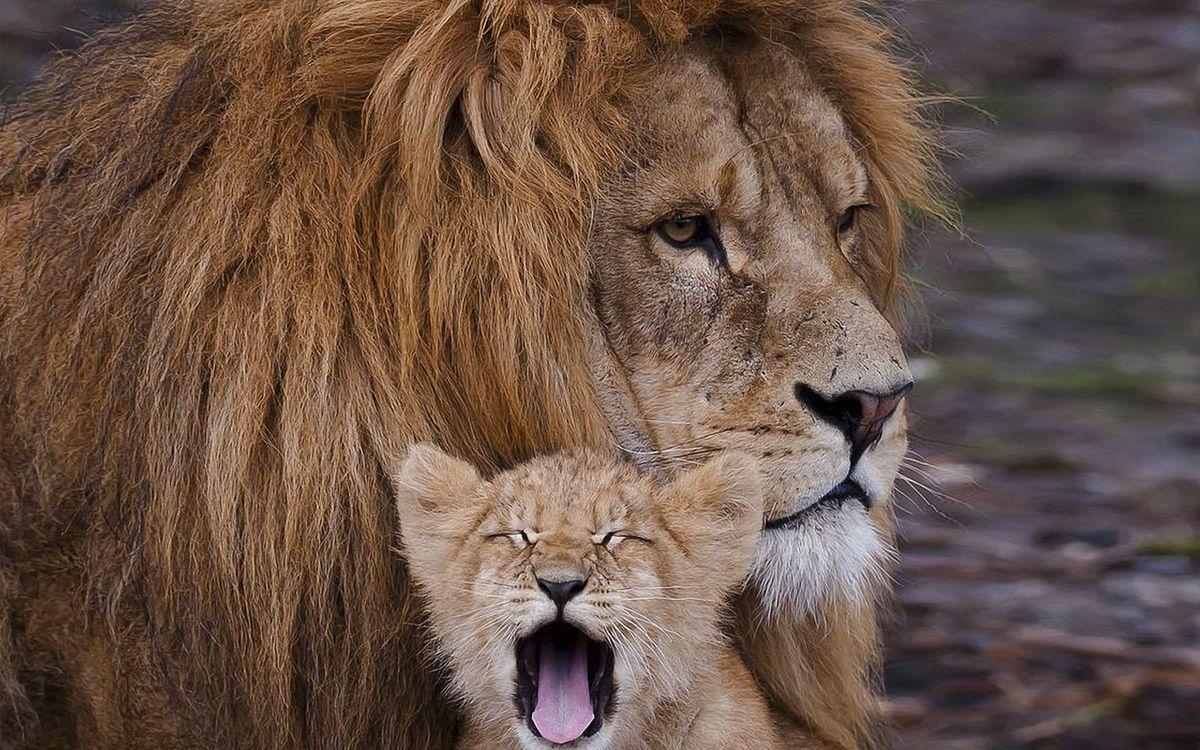 Free photo lion, muzzle, scars - to desktop