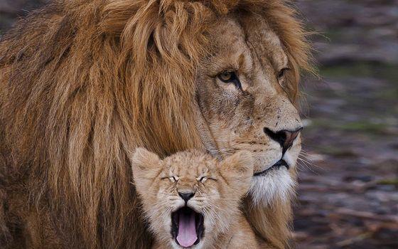 Photo free lion, muzzle, scars