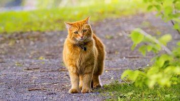 Бесплатные фото рыжий кот,ошейник