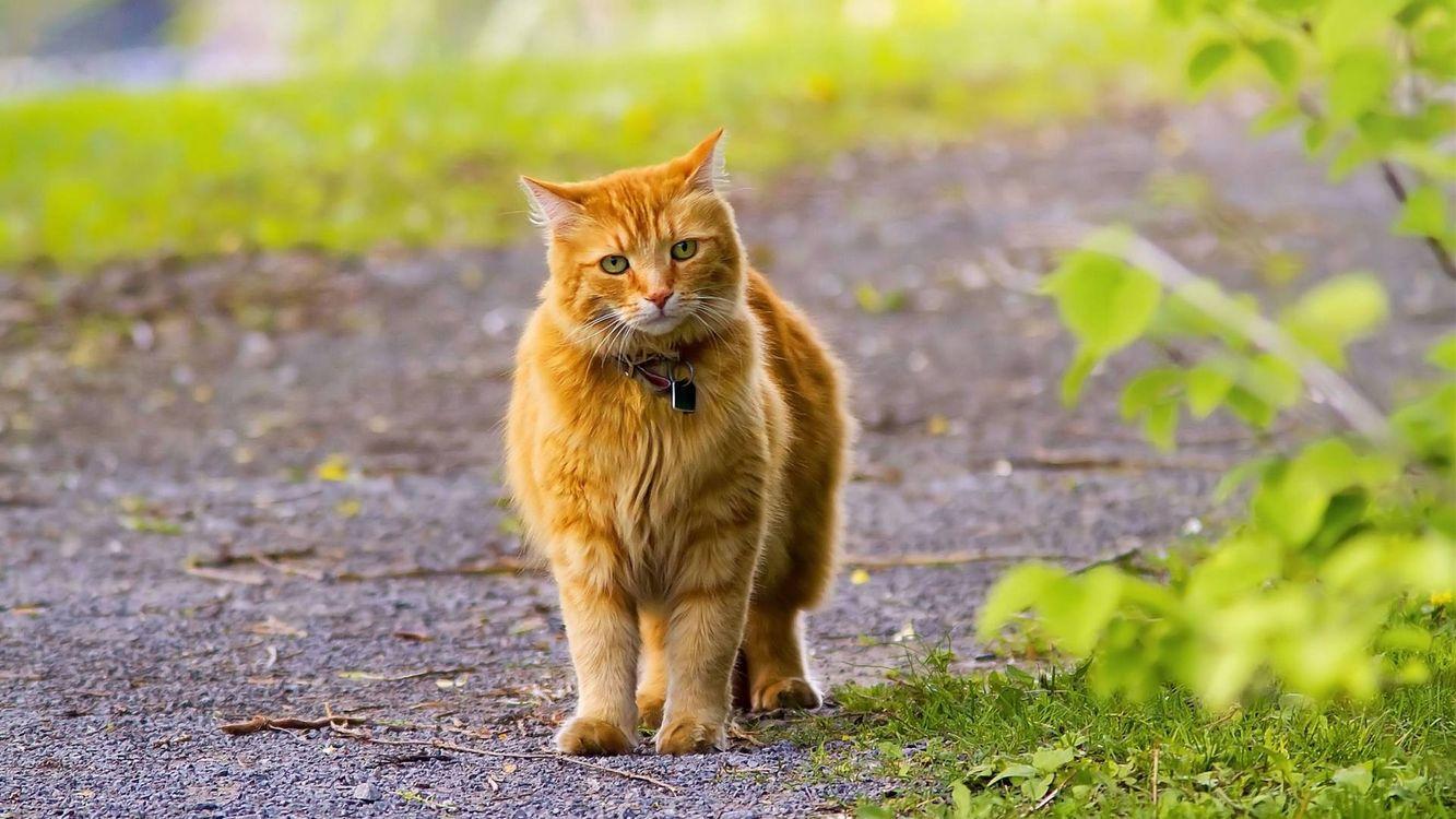 Обои рыжий кот, ошейник картинки на телефон