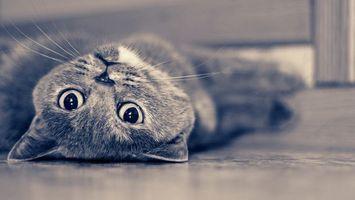 Бесплатные фото кошка, серая, лежит, морда, лапы, шерсть