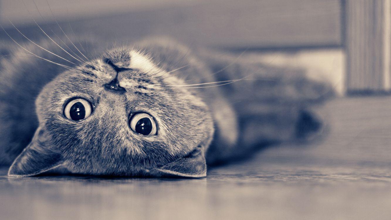 Фото бесплатно кошка, серая, лежит, морда, лапы, шерсть, кошки
