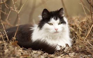 Бесплатные фото кот,окрас,черно-белый,шерсть,ветки,листва,сухие