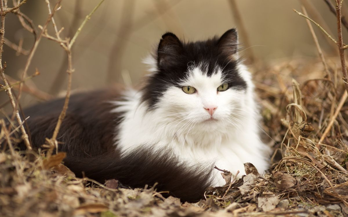 Фото бесплатно кот, окрас, черно-белый, шерсть, ветки, листва, сухие, кошки - скачать на рабочий стол