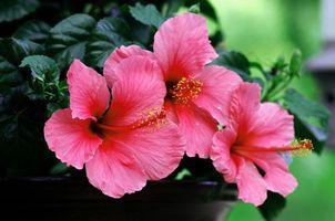 Бесплатные фото розовый,гибискус,макро