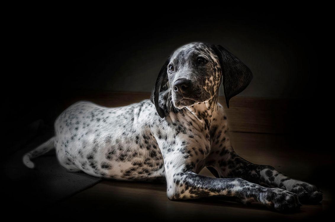 Фото бесплатно Далматинец, далматин, собака - на рабочий стол