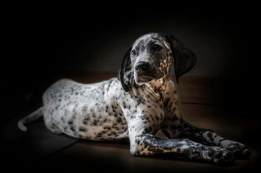 Photo free Dalmatian, self, animal