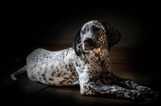 Фото бесплатно Далматинец, далматин, собака