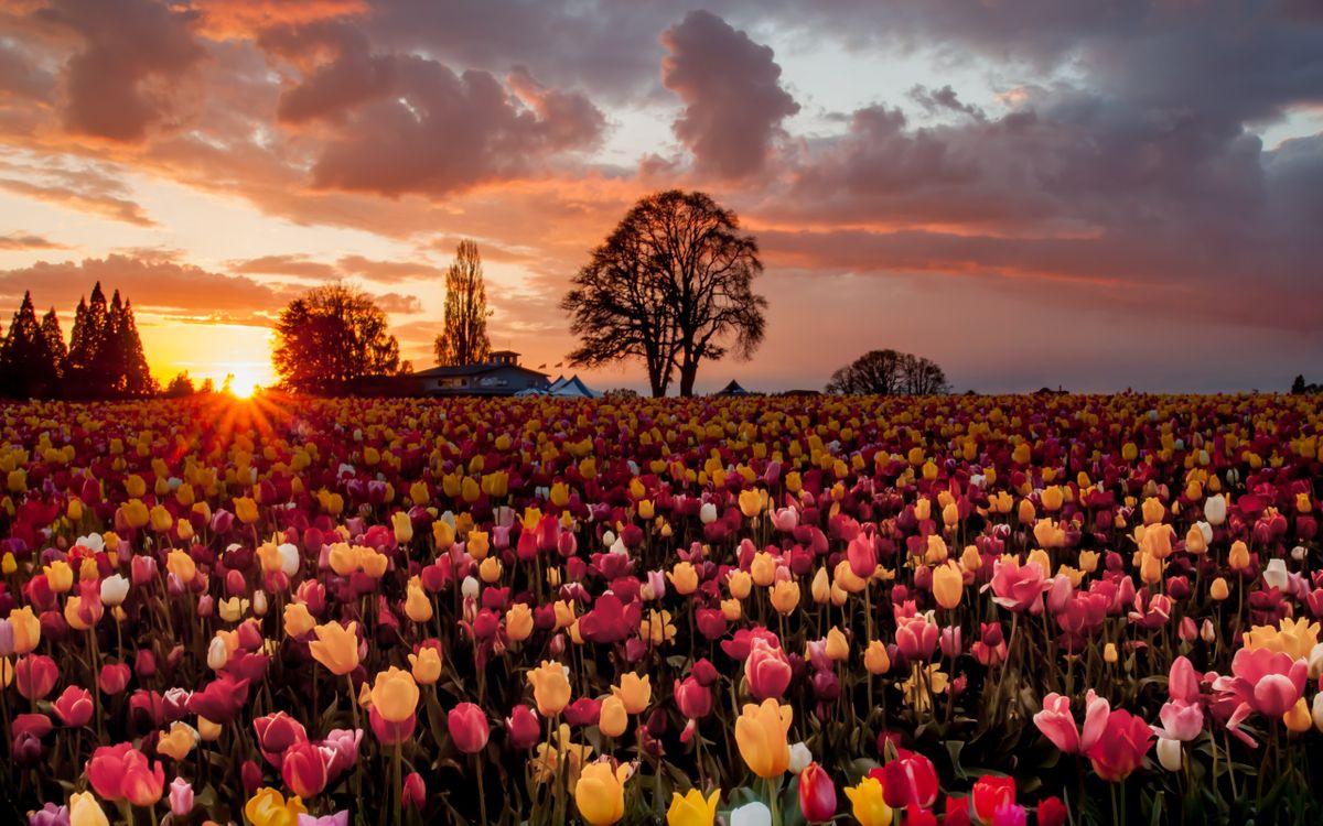 Фото бесплатно поле, закат, солнце, тюльпаны, деревья, цветы