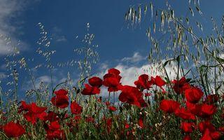Бесплатные фото маки,лепестки,красные,коробочки,трава,небо,облака