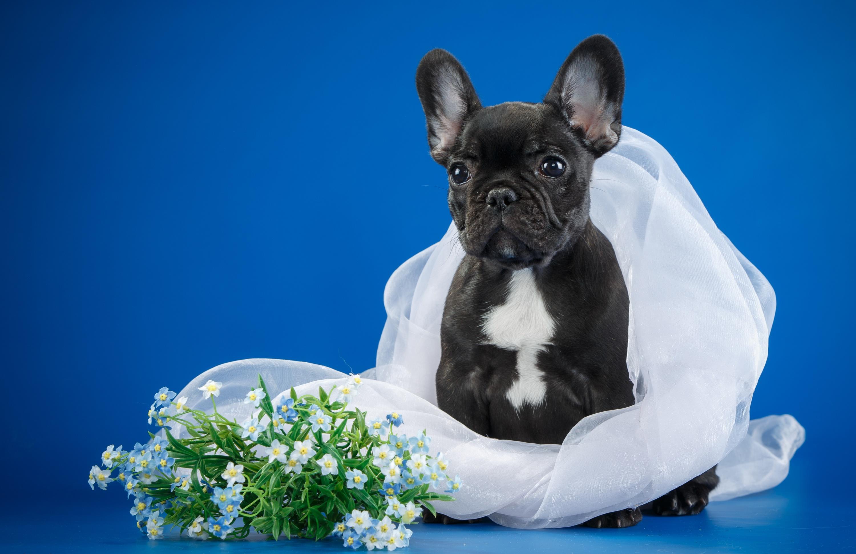 Обои щенок, вуаль, французский бульдог, цветы