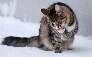 Бесплатные фото кошка,морда,лапы,хвост,шерсть,снег