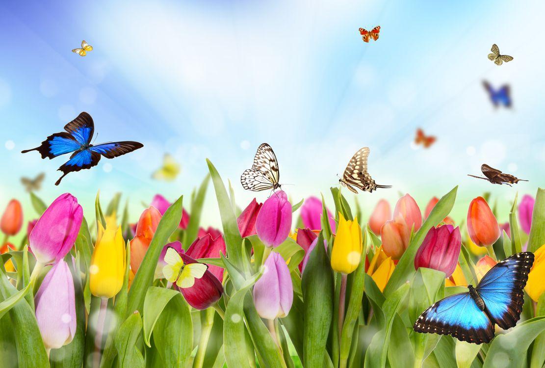Фото бесплатно цветы, тюльпаны, бабочки, флора, цветы