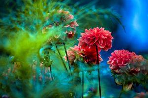 Фото бесплатно цветы, георгины, георгин, флора