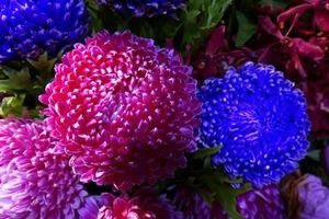Фото бесплатно астра, астры, цветы