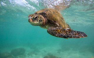 Обои черепаха, морда, плавники, панцирь, вода, дно