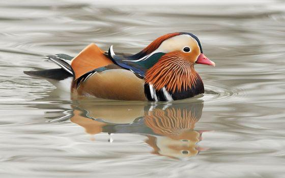 Фото бесплатно водоплавающая, птица, цветная, перья, клюв, водоем