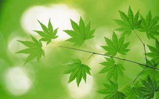 Фото бесплатно трава, канопля, листья