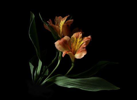 Photo free Alstroemeria, flower, flora