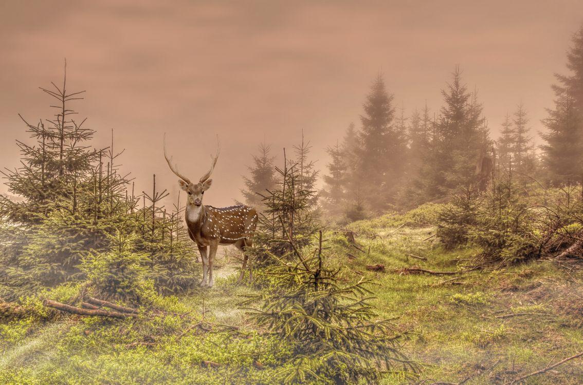 Фото бесплатно олень, лес, ёлки - на рабочий стол