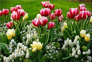 Фото бесплатно тюльпаны, клумба, цветы