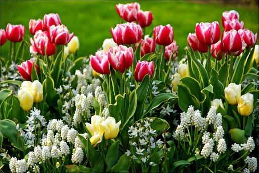 Photo free tulips, flower bed, flowers