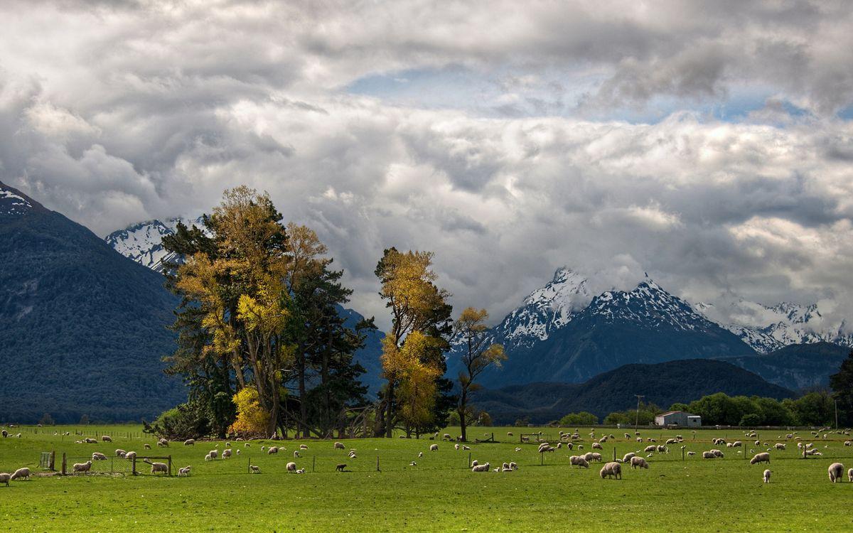 Обои поле, овечки, трава картинки на телефон