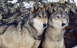 Бесплатные фото волки, серые, пара, морды, уши, шерсть