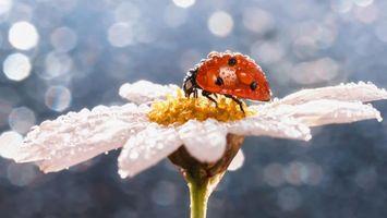 Фото бесплатно божья коровка, капли, цветок