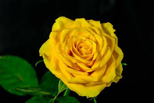 Фото бесплатно желтая роза, цветок, роза
