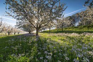 Обои весна, Швейцария, поля, холмы, цветы, цветение, деревья, пейзаж