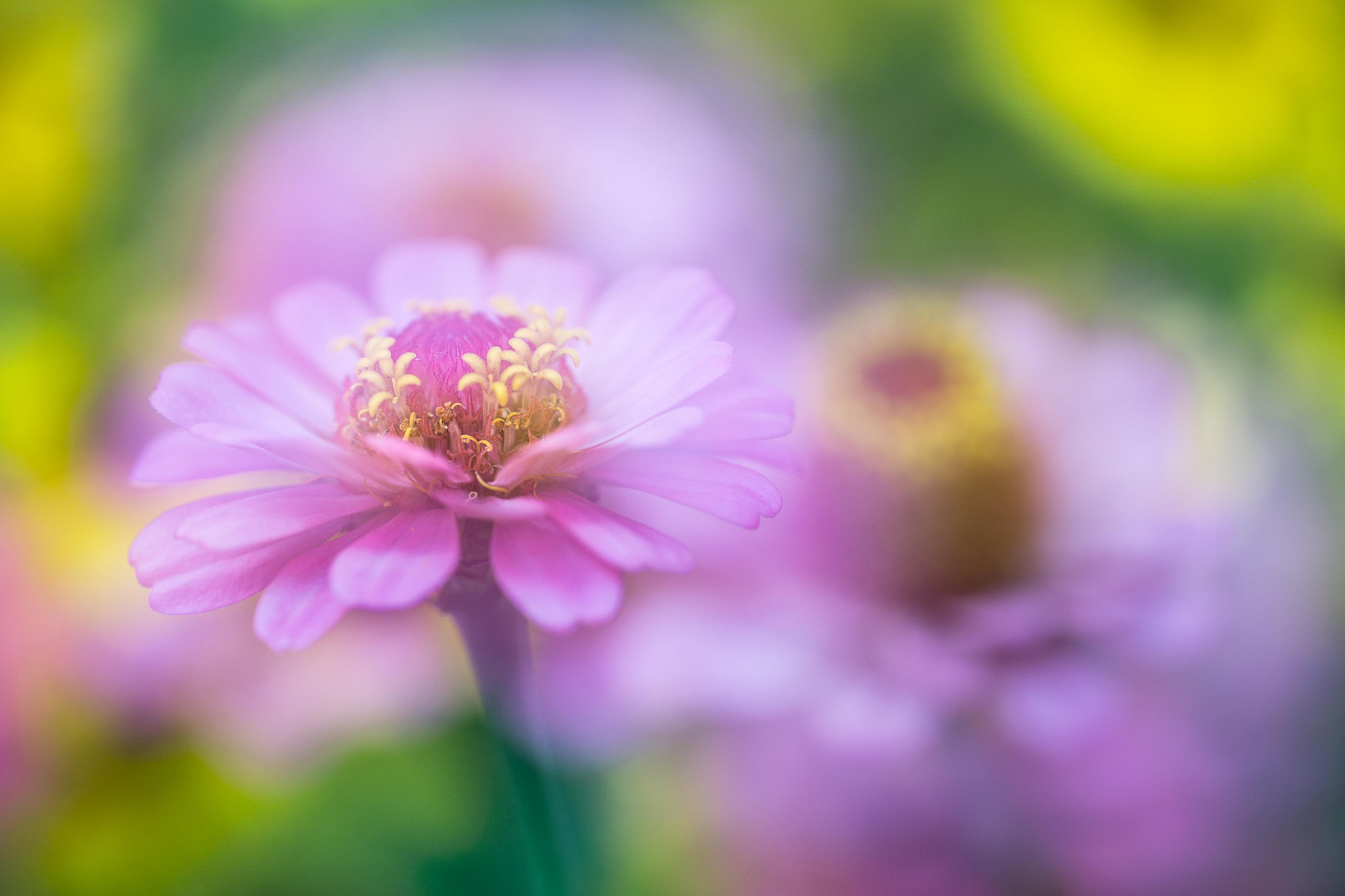 Обои цветок, цветы, макро, флора