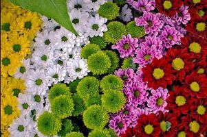 Фото бесплатно цветы, хризантемы, флора