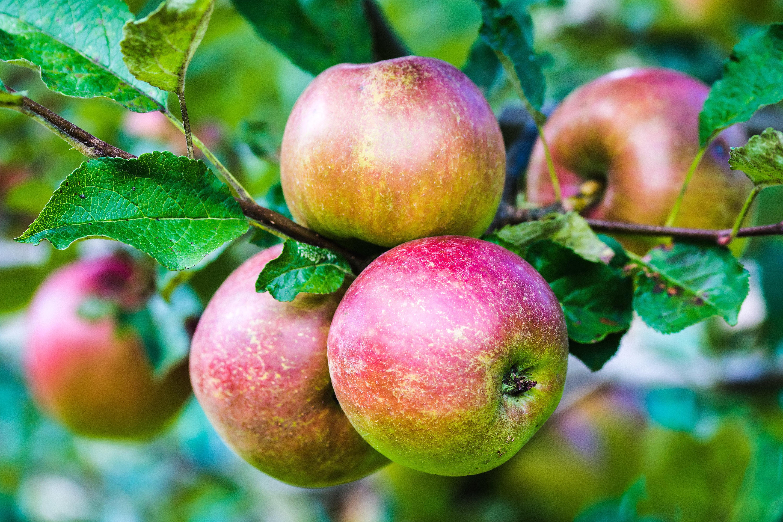 Обои яблоня, яблоки, ветки, листья