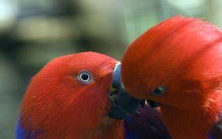 Фото бесплатно птицы, попугаи, клювы