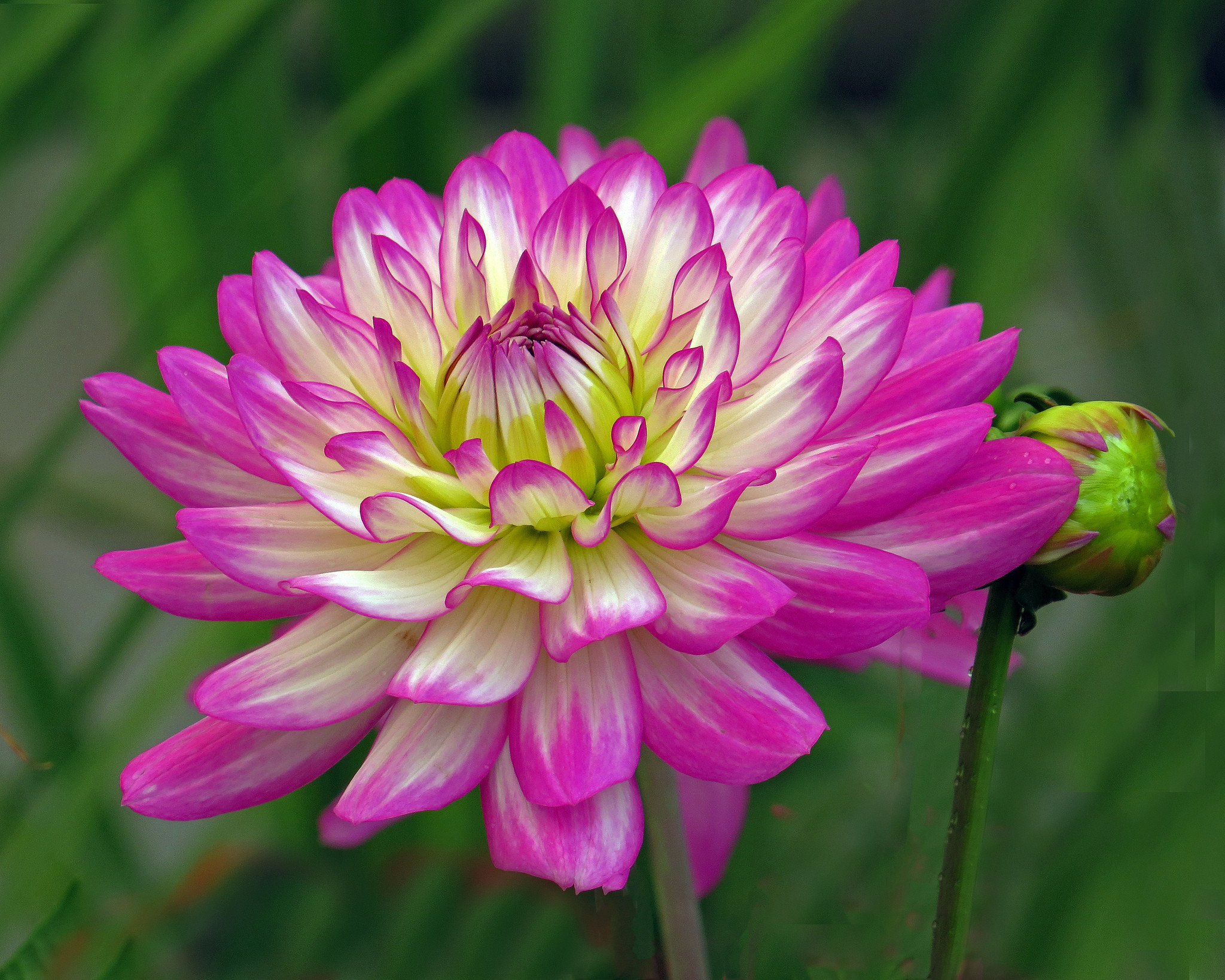 обои Dahlia, георгин, цветок, флора картинки фото