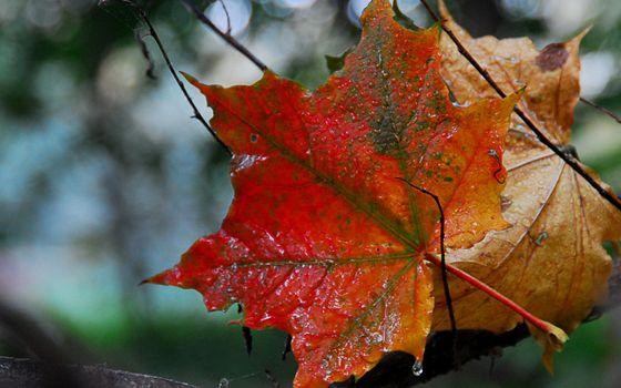ветви, листья, прожилки, капли, вода