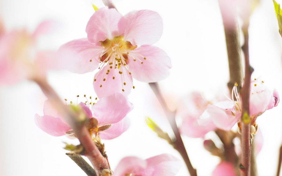 Фото бесплатно ветви, почки, цветы - на рабочий стол