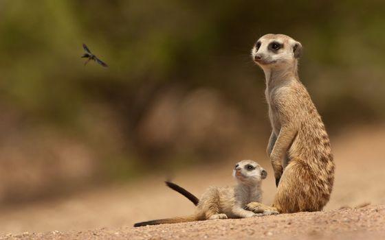 Photo free meerkats, cubs, muzzles