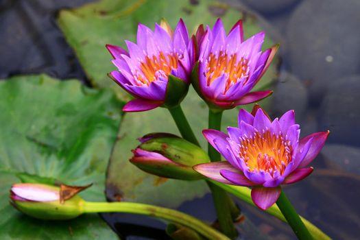Photo free Nymphaeum, water lilies, purple