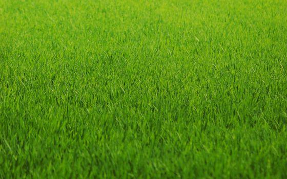 Заставки зеленая трава, газон, крупный план