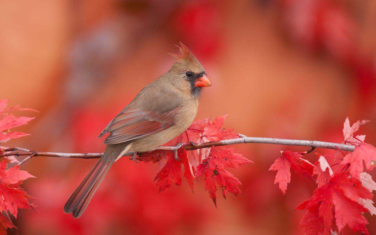 Фото бесплатно кардинал, птица, ветка, осень, птицы