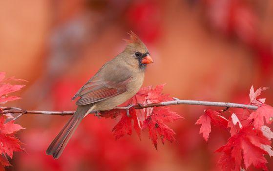 Фото бесплатно кардинал, птица, ветка