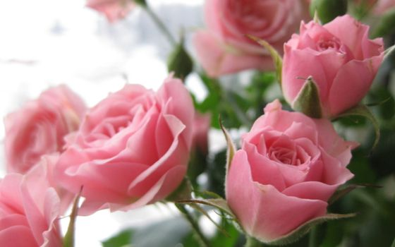 Фото бесплатно розовые розы, лепестки, букет