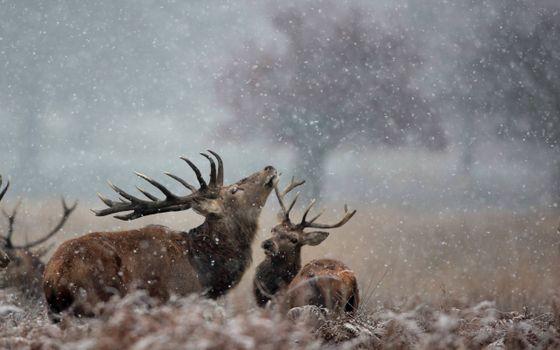 Заставки олени, самец, рога