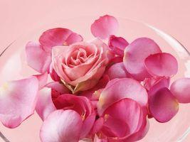 Фото бесплатно роза, лепестки, розовый