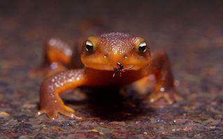 Обои ящерица, геккон, морда, глаза, муравей, еда