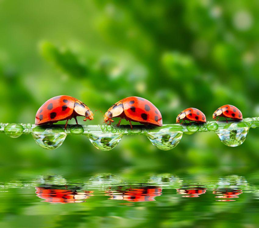 Обои божьи коровки, солнце, вода, капли, зелень, лето, божья коровка, жук, жуки, макро, насекомые, роса на телефон   картинки насекомые