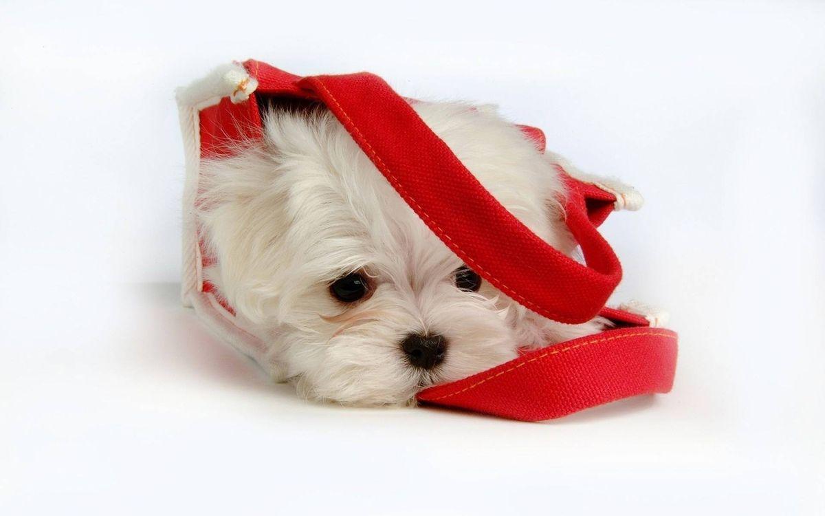 Фото бесплатно пес, морда, глаза, шерсть, сумка, фон белый, собаки